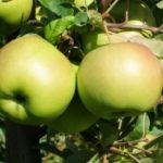 Cała prawda o jabłkach